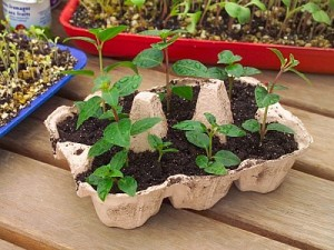 Germoir en boîte à oeufs pour vos plantations