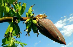 banana-256521_1920